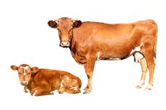 布朗母牛 库存照片
