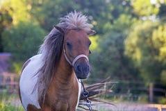 布朗母马在看起来一个有风的夏日哀伤 图库摄影