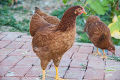布朗母鸡 免版税库存图片
