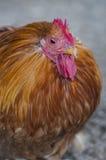 布朗母鸡 免版税库存照片