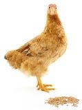 布朗母鸡 图库摄影