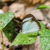 布朗毗邻的白色蝴蝶 免版税库存照片