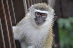 布朗毛皮猿 库存图片