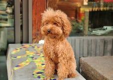布朗毛茸的狗 免版税库存照片