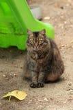 布朗毛茸的猫在围场 免版税图库摄影