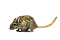 布朗沙鼠 免版税图库摄影