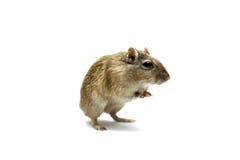 布朗沙鼠 免版税库存照片