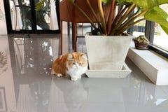 布朗波斯猫坐在咖啡店的地板 库存照片