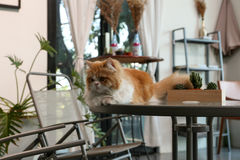 布朗波斯猫坐在咖啡店的桌 免版税库存图片