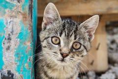 布朗注视平纹小猫 图库摄影
