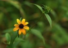 布朗注视苏珊黄金菊triloba 免版税库存图片