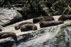 布朗海狗殖民地在一个大岩石取暖 免版税图库摄影