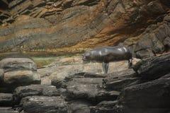 布朗海狗 库存照片
