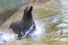 布朗海狗 免版税图库摄影