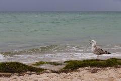 布朗海鸥打呵欠尖叫反对在海的风暴 狂放的鸟概念 在沙子海滩的海鸥在飓风天 免版税图库摄影