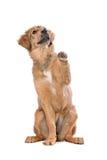 布朗混合了品种小狗 库存照片