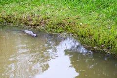 布朗湿狂放与锋利的牙齿和大尾巴水生海狸平凡,啮齿目动物在池塘,有泥泞的棕色wate的一条河漂浮 免版税库存照片