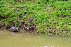 布朗湿狂放与锋利的牙齿和大尾巴水生海狸平凡,啮齿目动物在池塘,有泥泞的棕色wate的一条河漂浮 库存图片
