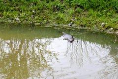 布朗湿狂放与锋利的牙齿和大尾巴水生海狸平凡,啮齿目动物在池塘,有泥泞的棕色wate的一条河漂浮 图库摄影