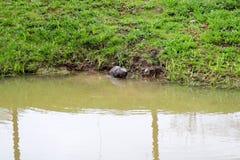 布朗湿狂放与锋利的牙齿和大尾巴水生海狸平凡,啮齿目动物在池塘,有泥泞的棕色wate的一条河漂浮 库存照片