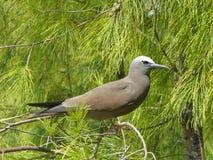 布朗燕鸥类鸟(或共同的燕鸥类鸟) 库存照片