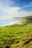 布朗牛在Lost海岸加利福尼亚峭壁的豪华的绿色领域吃草  库存照片