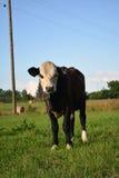 布朗牛 库存照片