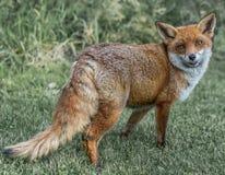 布朗狐狸 免版税库存图片