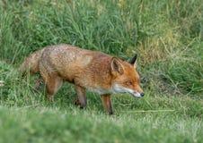 布朗狐狸 图库摄影