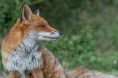 布朗狐狸 库存照片