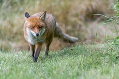 布朗狐狸 库存图片