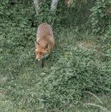 布朗狐狸 免版税库存照片