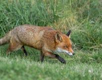 布朗狐狸 免版税图库摄影
