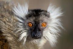 布朗狐猴 免版税库存照片