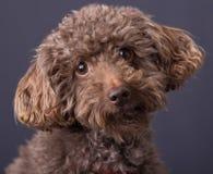 布朗狗十字架玩具狮子狗和猎犬 免版税图库摄影