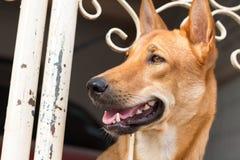 布朗狗在家 免版税库存图片