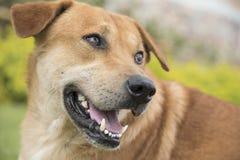 布朗狗在草坪 库存图片