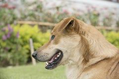 布朗狗在草坪 库存照片