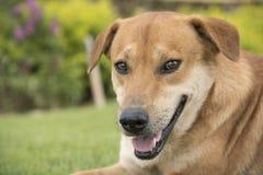 布朗狗在草坪 免版税库存照片