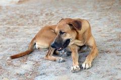 布朗狗好心情和微笑的狗 库存图片