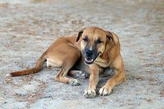 布朗狗好心情和微笑的狗 免版税图库摄影