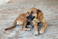 布朗狗好心情和微笑的狗 免版税库存图片