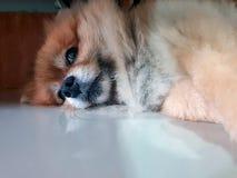 布朗狗放松说谎在地板上 免版税库存图片