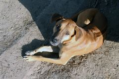 布朗狗晒黑,逗人喜爱狗的褐色健康和 库存照片