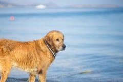 布朗狗认为在爱琴海海滩 库存图片