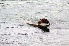布朗狗活动在水中 库存照片