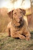 布朗狗 免版税库存照片