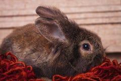 布朗狮子头说谎在一条红色围巾的兔子兔宝宝 免版税库存图片