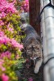 布朗猫在庭院里走 免版税库存照片