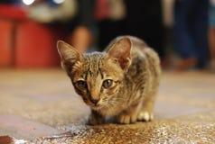布朗猫看 库存图片
